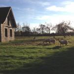 Les moutons broutant dans le champ